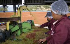 FILE: Farmworkers process Rooibos in the Cederberg region. Picture: Aletta Harrison/EWN.