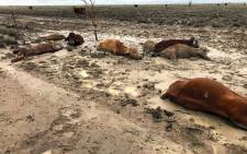 This handout picture taken by Anthony Anderson on 7 February 2019 and released to AFP on February 8 shows cattle in a flooded area near Julia Creek township in Queensland state. Picture: AFP