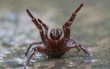 An undated photo received from The Australian Reptile Park on 24 March 2021 shows a deadly funnel-web spider. Picture: The Australian Reptile Park/AFP