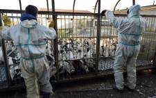 FILE: Employees of duck farmer Sebastien Pujos prepare to unload a truck with birds into an enclosure as they prepare a mass bird slaughter after the detection of bird flu. Picture: AFP.