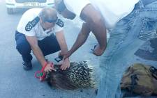 SPCA officials examine the carcass of a porcupine. Picture: Aletta Harrison/EWN