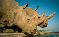 32-year-old Najin (left) and her daughter Fatu, the last two northern white rhinos on the planet. Picture: Ami Vitale/Ol Pejeta Conservancy