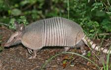 The man shot an armadillo in his yard and the bullet ricocheted into his face. Picture: Birdphotos.com/Wikipedia