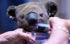FILE: A dehydrated and injured koala receives treatment at the Port Macquarie Koala Hospital in Port Macquarie on 2 November 2019, after its rescue from a bushfire. Picture: AFP