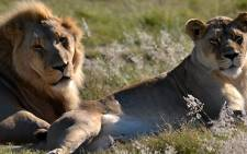 FILE: Lions at a Cape reserve. Picture: EWN.