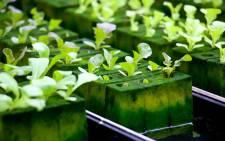 A hydroponics farming project. Picture: Pixabay.com