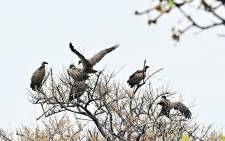 A flock of vultures descend on a tree at the Boma National Park in eastern South Sudan on 4 February 2020. South Sudan holds enormous ecotourism potential, boasting Africa's largest savanna and wetland, the second-largest mammal migration on earth, and the lions, elephants and myriad other endangered and iconic species that have long lured visitors to the continent. Picture: AFP.