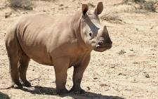 Rhinos have been slaughtered to near extinction.