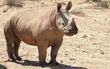 Rhino under fire