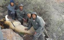 The lion that escaped from the Karoo National Park has been recaptured by SanParks. Picture: SanParks.