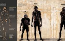 [USE ONLY ONCE AND NOT AFTER 10 SEPTEMBER 2015]: A composite skeleton of H. naledis overall body plan and an illustration of how it compares to Homo species such as H. erectus and australopithecines such as Lucy. The find was announced by the University of the Witwatersrand, the  National Geographic Society and the South African National Research Foundation and published in the journal eLife.  Skeleton: Stefan Fichtel/National Geographic Body Comparison Painting: John Gurche; Sources: Lee Berger and Peter Schmid, Wits; John Hawks, University of Wisconsin-Madison
