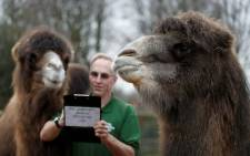 FILE: Zookeeper Micky Tiley poses with Bactrian camels called Genghis and Noemi, during a photocall for the annual stock take at the ZSL London Zoo in central London on 3 January 2019. Picture: AFP