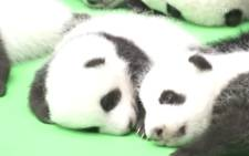 Chinese breeding agency debuts 23 new baby pandas. Picture: Screengrab/CNN