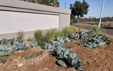 The cabbage bed planted by Joe Nkuna. Picture: Djo BaNkuna/Facebook