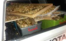 Abalone which was seized by police in Mfuleni seen at the back of a bakkie. Picture: SAPS.
