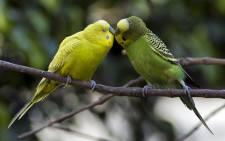 FILE: Australian Parrots. Picture: Omar Torres/AFP