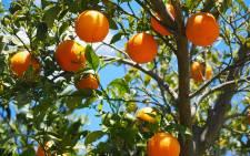 Unpicked oranges. Image: Hans Braxmeier from Pixabay