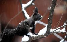 A squirrel sits on a snow covered branch. Picture: AFP
