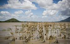 Maize plants, which are a staple crop in Malawi, were destroyed by floodwaters in several districts. Picture: Aletta Gardner/EWN