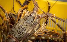 Crayfish are brought to shore by fishermen in Kleinmond. Picture: Aletta Harrison/EWN