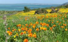 The South African National Parks says it expects an increase in visitors to the annual wildflower bloom this year. Picture: Wikimedia Commons.