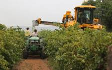 A farmer in Vredendal, Western Cape harvests grapes. Picture: EWN