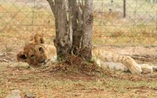 A lioness is seen at Weltevrede Lion Farm in the Free State. Picture: @weltevrede.lion.farm/Facebook.com.