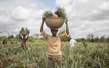 People work in a pineapple field in Soyo in Benin. Picture: AFP.