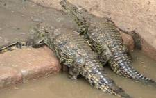A file image of crocodiles. Picture: Tshepo Lesole/Eyewitness News