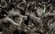 Some of the 1,200 Cape Cormorant chicks being taken care of after being rescued from Robben Island at the Southern African Foundation for the Conservation of Coastal Birds (SANCCOB), in Cape Town on January 28, 2021. The chick's parents abandoned them, it is thought, for a lack of food, which is mostly anchovies. Picture: Rodger Bosch / AFP