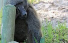 Kataza the baboon