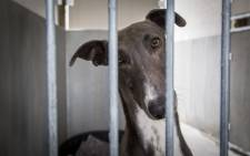 The SPCA confiscated a pack of greyhounds from six men, after they were arrested for using the dogs in illegal hunts. Picture: Aletta Harrison/EWN