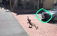 Western Cape Education Department spokesperson Jessica Shelver shared this image on social media after a motorist killed two baby Egyptian geese in the Cape Town CBD. Picture: Jessica Shelver/Facebook.com