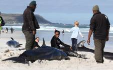 Some of the 19 whales which beached at Noordhoek beach on 24 March 2013. Picture: Derek Goldman (kayakcapetown.co.za)/iWitness