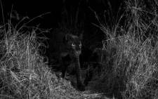 A rare image of a black leopard, also known as a black panther, in Kenya captured by Will Burrard-Lucas. Picture: Will Burrard-Lucas