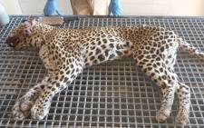 The leopard responsible for the attack on a tour guide at the Kruger National Park. Picture: Supplied/EWN.