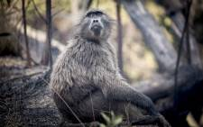 A young baboon glances up at a helicopter overhead after the fire swept through parts of Groot Constantia wine estate on 4 March 2015. Picture: Aletta Gardner/EWN.