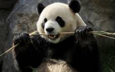 China lists 420 species as rare or endangered, including the panda, golden monkeys, Asian black bears and pangolins. Picture: AFP.