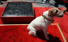 "Uggie, the dog who starred in the Academy Award-winning film ""The Artist,"" is honored at his hand and paw print ceremony outside Grauman's Chinese Theatre in Hollywood, California, June 25, 2012. Picture: AFP"