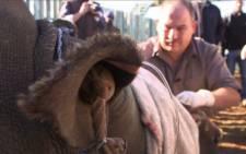 Hope the rhino receives life saving surgery. Screen grab: CNN