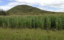 FILE: A general view of maize grown by farmers near Mtshezi in KwaZulu-Natal. Picture: @GrainSA/Twitter.