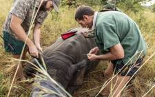 A vet takes blood samples from the rhino bull to match DNA. Picture: Thomas Holder/EWN