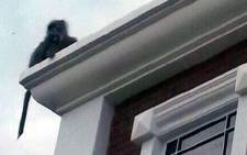 A baboon was spotted roaming the street of Jonahhesburg north on 12 December 2013. Picture: Supplied.