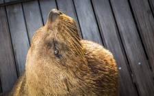 A Cape fur seal rests on a jetty in Cape Town harbour. Picture: Aletta Harrison/EWN.