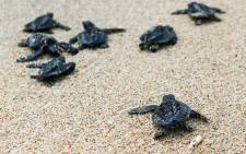 FILE:  Sea turtle hatchlings make their way to the sea after being released at a beach in Serangan, Bali, Indonesia 08 October 2014. Picture: EPA.