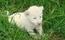 A white lion cub. Picture: Wikimedia Commons/Gary Whyte.