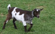 Goat generic. Picture: freeimages.com
