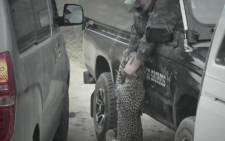 Leopard catches game ranger Curtis Plumb. Picture: Youtube screengrab