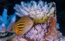 """Coral has been bleached for two consecutive years by warming sea temperatures on Australia's Great Barrier Reef with """"zero prospect"""" of recovery, scientists said on April 10, 2017, blaming climate change for the large-scale destruction. Picture: ARC Centre of Excellence for Coral Reef Studies/Ed Roberts."""