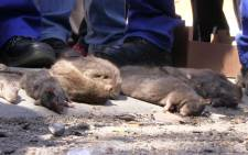 FILE: The City of Cape Town is rolling out a new rat control strategy in Khayelitsha. Picture: Reinart Toerien/EWN.